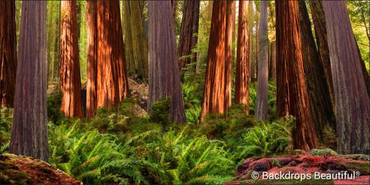 Backdrops: Redwood Forest 1